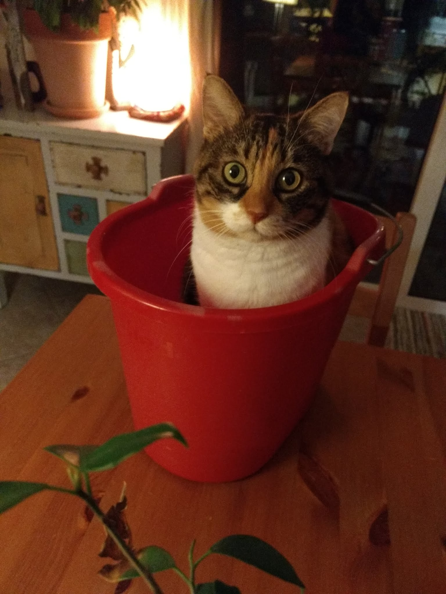 My cat in a bucket